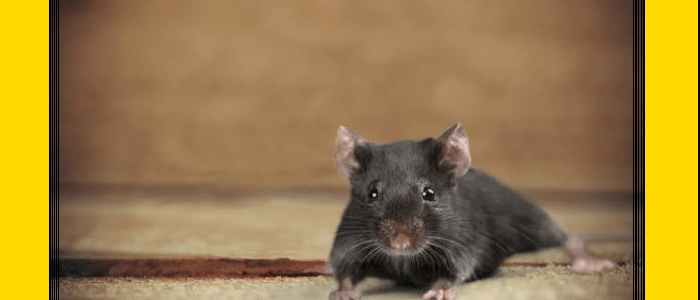 Rodent Control Wahroonga